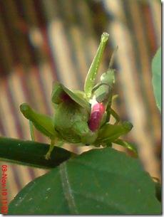 belalang hijau kawin tampak belakang 10