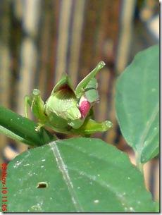 belalang hijau kawin tampak belakang 14