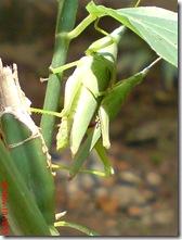 belalang hijau kawin tampak belakang 07