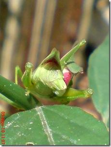 belalang hijau kawin tampak belakang 19