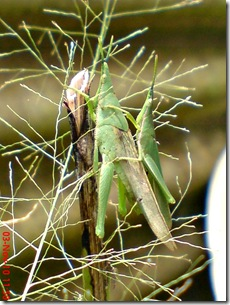 green grasshopper mating over view 02