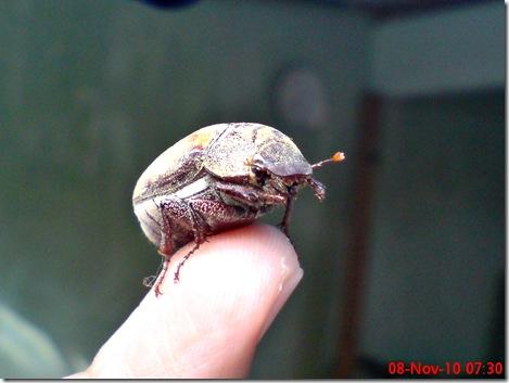 kumbang lege 03