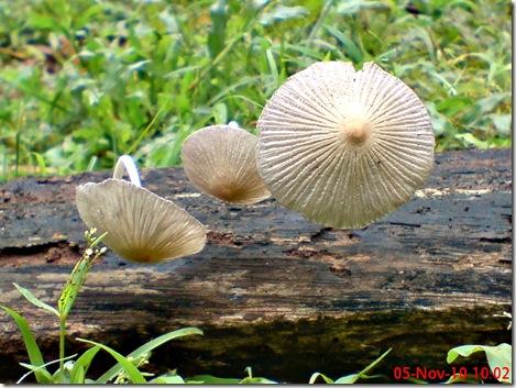 jamur seperti payung layu 02