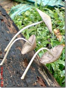 jamur seperti payung layu 06