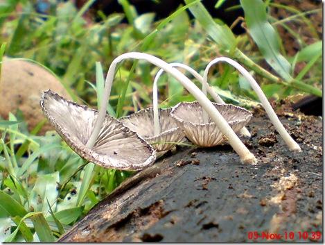 jamur seperti payung layu 19