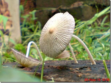 jamur seperti payung layu 14