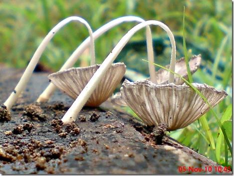 jamur seperti payung layu 22