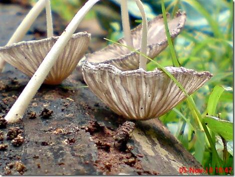 jamur seperti payung layu 23