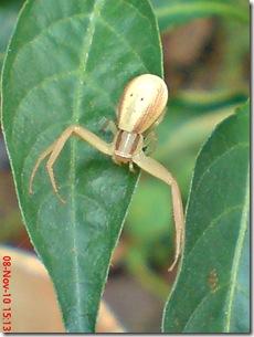 laba-laba angkat tangan 20