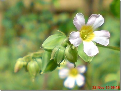 Oxalis barrelieri-Belimbing Tanah-Lavender sorrel 15