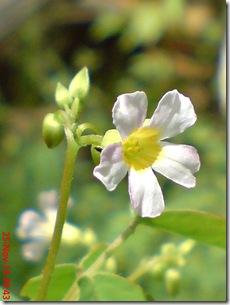 Oxalis barrelieri-Belimbing Tanah-Lavender sorrel 09
