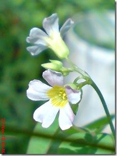 Oxalis barrelieri-Belimbing Tanah-Lavender sorrel 12