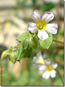 Oxalis barrelieri-Belimbing Tanah-Lavender sorrel 14