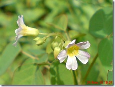 Oxalis barrelieri-Belimbing Tanah-Lavender sorrel 21