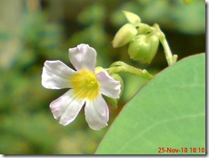 Oxalis barrelieri-Belimbing Tanah-Lavender sorrel 025