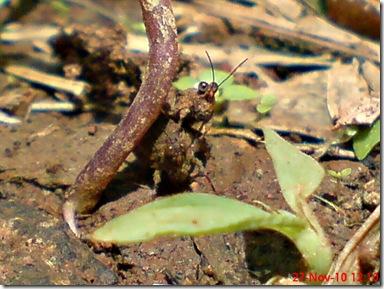 belalang tanah kecil kawin