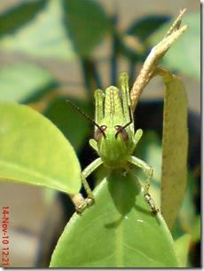 wajah belalang warna hijau 13
