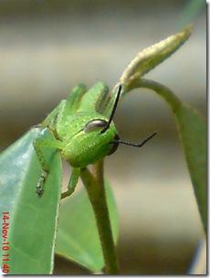 wajah belalang warna hijau 02