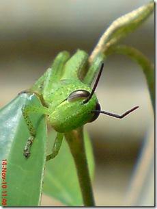 wajah belalang warna hijau 01