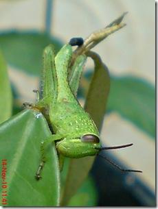 wajah belalang warna hijau 03