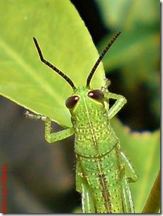 wajah belalang warna hijau 14