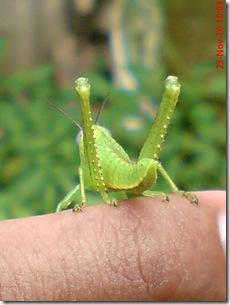 anak belalang berwarna hijau 03