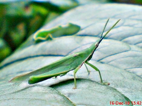 belalang hijau Atractomorpha crenulata vegetable grasshopper DSC03542