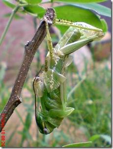 Locusta migratoria molting