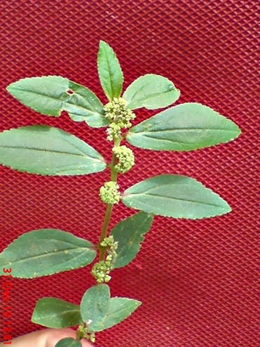 Patikan Kebo_Euphorbia hirta
