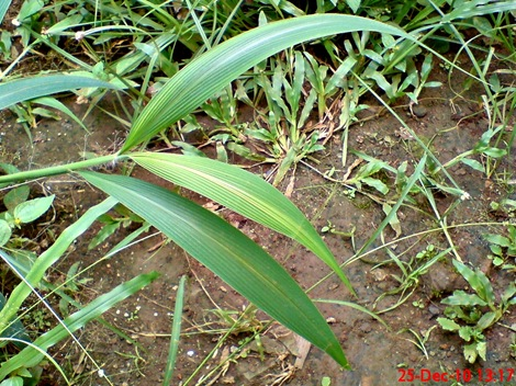 rumput bambuan 2