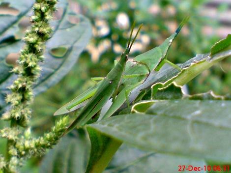 belalang kawin di daun bayam 2