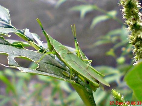 belalang kawin di daun bayam 6
