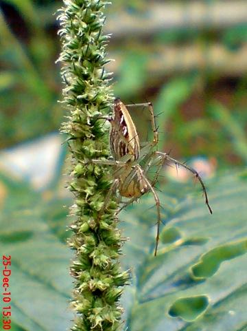 laba-laba Lynx spider Oxyopes javanus 1