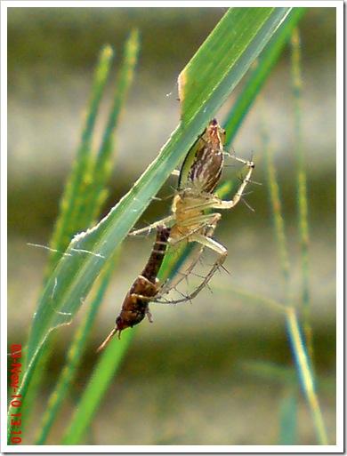 lynx spider menangkap anak belalang coklat 2