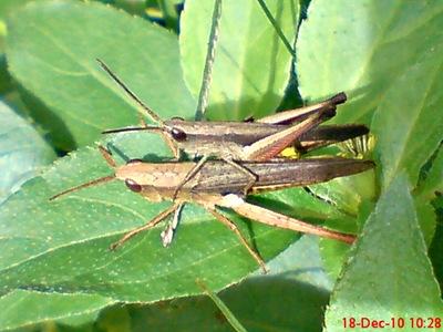 belalang coklat Phlaeoba fumosa kawin 3