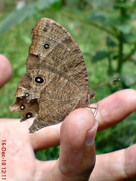 kupu-kupu coklat Common Evening Brown Melanitis leda