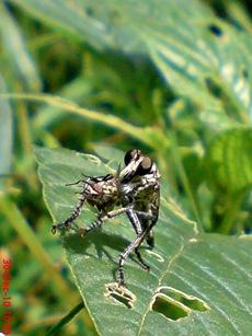 lalat makan lalat 2