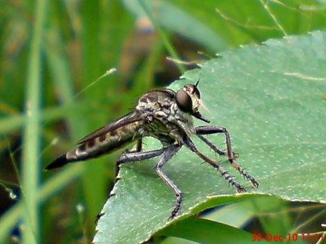 lalat makan lalat 9