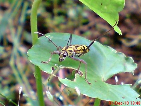 Chlorophorus annularis - Bamboo Longhorn Beetle - Bamboo Tiger 4
