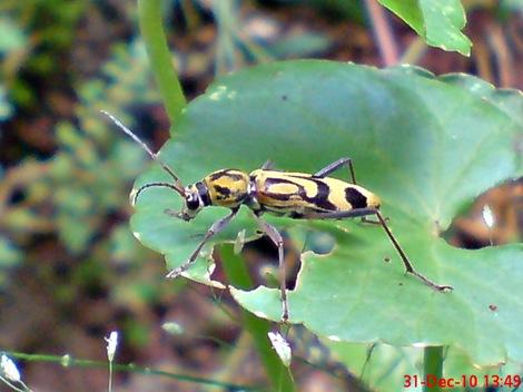 Chlorophorus annularis - Bamboo Longhorn Beetle - Bamboo Tiger 8