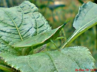 belalang hijau bertelur 1