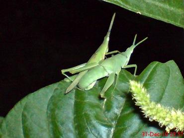 belalang hijau kawin di malam tahun baru 5