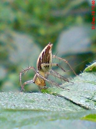 laba-laba nungging 1