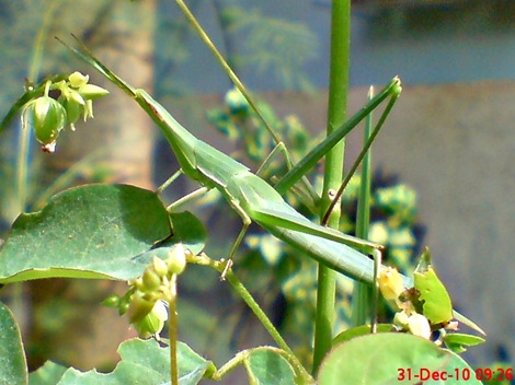 Klasifikasi ilmiah Belalang Hijau Acrida conica 3