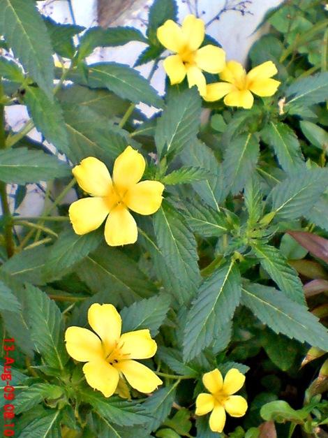 yellow Turnera ulmifolia 04