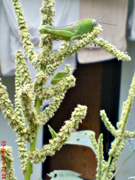 Nezara viridula_green vegetable bug_kepik hijau 24