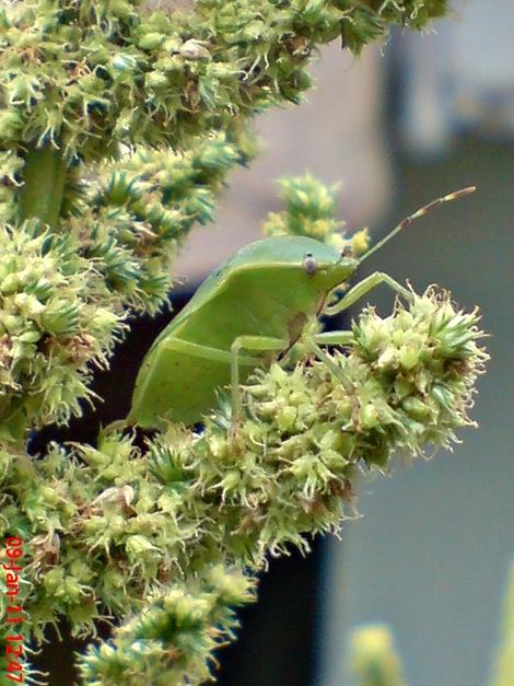 Nezara viridula_green vegetable bug_kepik hijau 27