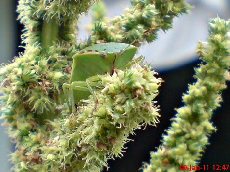 Nezara viridula_green vegetable bug_kepik hijau 25
