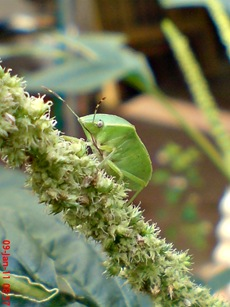 Nezara viridula_green vegetable bug_kepik hijau 11