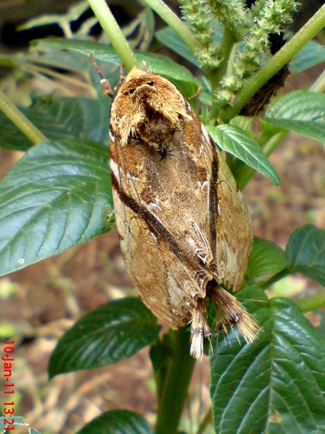 moth Dudusa vethi ngengat 03